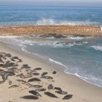 Seals at La Jolla's Children's Pool