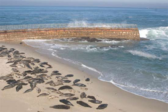 seals at la jolla childrens pool